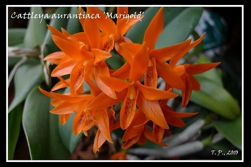 Cattleya aurantiaca  Marigold