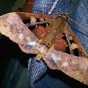 Ischyja moth