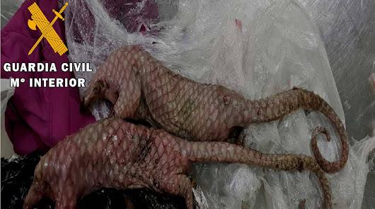 Los ejemplares muertos de pangolines hallado en la maleta de la roquetera.