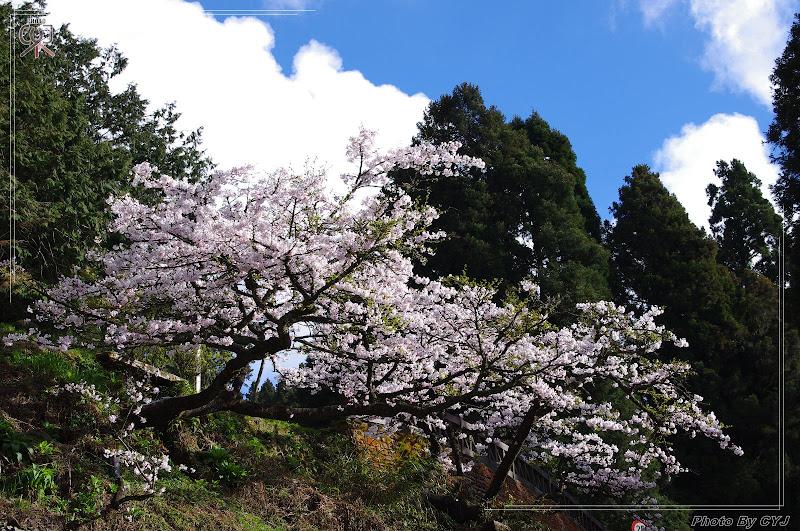 2011.03.22 阿里山賞櫻