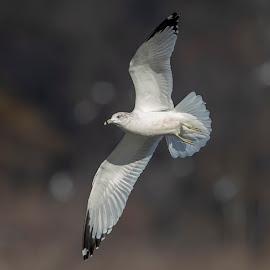 Gull in flight by Debbie Quick - Animals Birds ( debbie quick, nature, maryland, debs creative images, conowingo dam, outdoors, bird, darlington, animal, susquehanna river, wild, gull, wildlife )