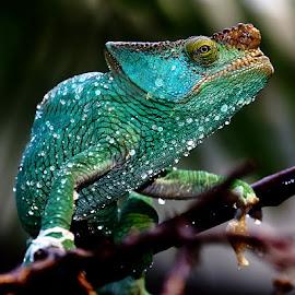 Après la douche by Gérard CHATENET - Animals Reptiles