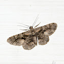 𝗚𝗲𝗼𝗺𝗲𝘁𝗿𝗶𝗱𝗮𝗲 Moth