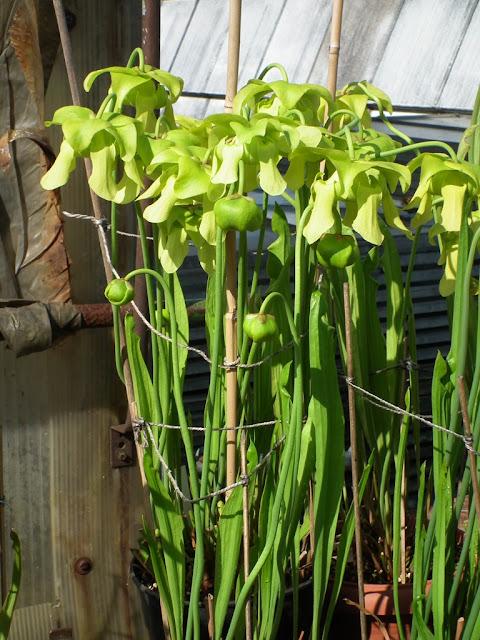 Sarracenia, vigueur du printemps DSCF2214