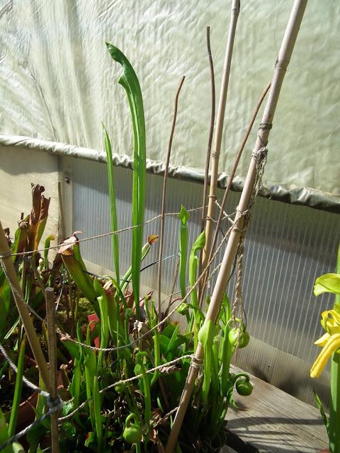 Sarracenia, vigueur du printemps DSCF2219
