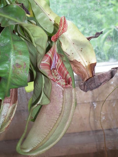 Grand terrarium à Nepenthes à vendre DSCF1002