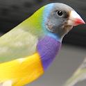 Birds Singing icon
