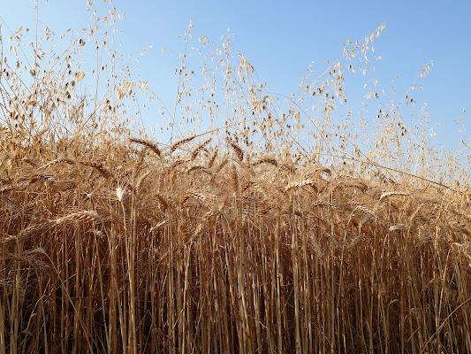 Estate: il profumo del grano. di Piera