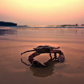 Looking up by Rajarshi Chowdhury - Animals Sea Creatures ( water, sea creatures, sunset, mangalore, sea, ocean, india, karnataka, crab, animal )
