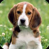 Beagle Dog HD Live Wallpaper