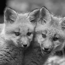 Foxes B&W by Steven Liffmann - Black & White Animals ( carnivores, vulpes vulpes, red fox, north american mammal )