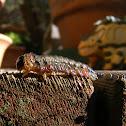 Callistemon Sawfly Larva