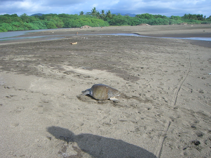 Photo: Olive Ridley Turtle at Ostional Wildlife Refuge