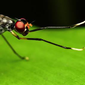 The Long Leg Fly by Shohibul Huda - Animals Insects & Spiders ( macrophotography, macro photography, fly, indonesia, insect, close up, animal )