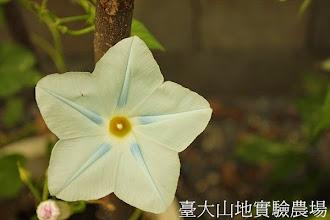 Photo: 拍攝地點: 春陽-可愛植物區 拍攝植物: 西洋朝顏 拍攝日期:2013_07_30_FY