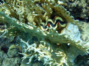 Photo: тридакна прячется среди ветвей огненного коралла