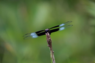 Photo: Dragonfly (just in case) while I was walking through the poison ivy patch coming down the hill from corner two at Road America.