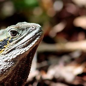 Lizzard by Luiz Michelini - Animals Reptiles