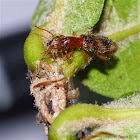Clerid Beetle feeding on hatching Treehopper nymphs