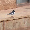 White-browed Wagtail (with nest)
