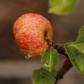 APPLE ON THE TREE by Aida Neves - Nature Up Close Trees & Bushes