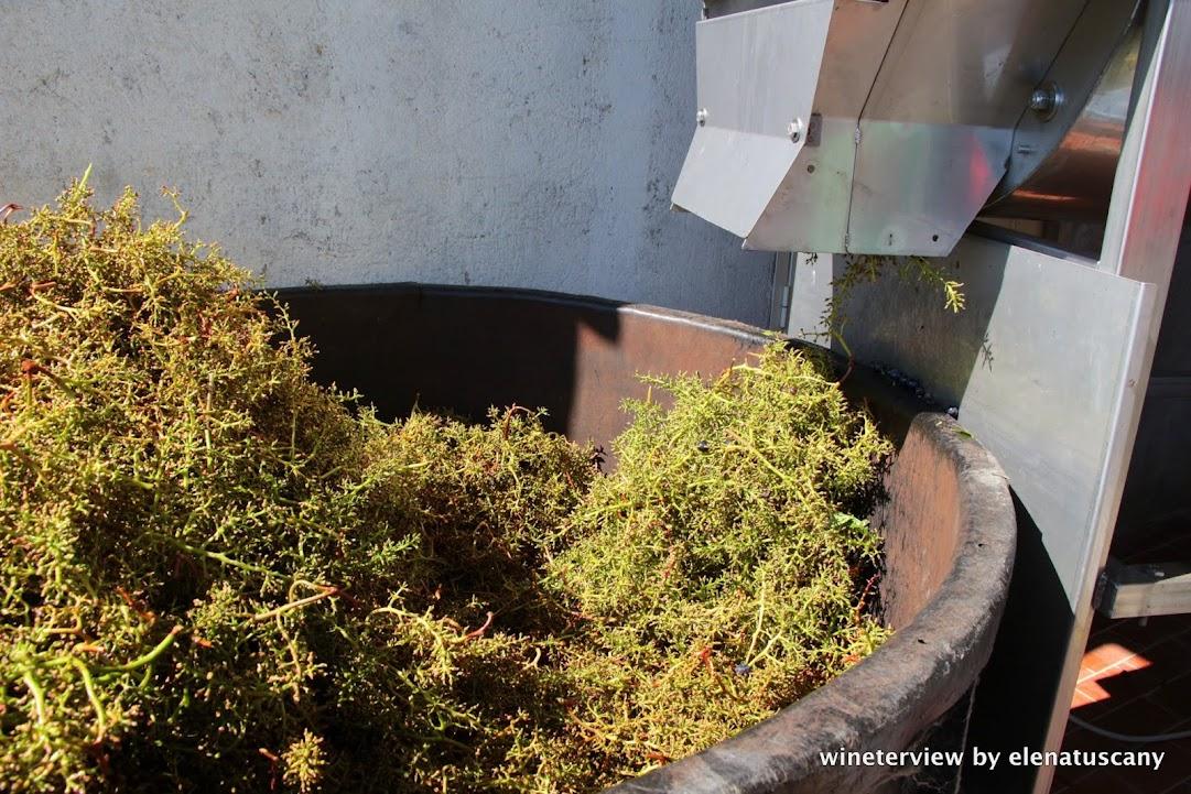 vendemmia, sangiovese, roccapesta, vino rosso, scansano, morellino di scansano, maremma, maremma vino, uva, wine, red vine, sangiovese wine, maremma wine, grape, grape harvest, toscana vino, tuscan wine, vigneto, vine , produzione vino, cantina, wine , destem, destemming, destemming grapes