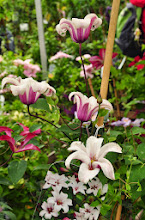Photo: Clematis 'Princess Kate' 2