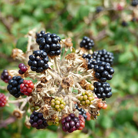 blackberry bush by Nick Parker - Nature Up Close Trees & Bushes ( close up, blackberry, bush, wild,  )