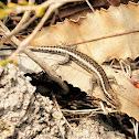 Snake-eyed skinks