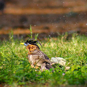 morning bath,brahminy myna or brahminy starling by Sanket Warudkar - Animals Birds ( water drops, starling, splash, grass, colors, camera, morning glory, watersplash, morning, photography, love, nature, bath, bird photography )