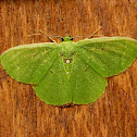 Small emerald moth