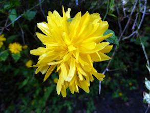 Photo: Kerria in full bloom - 6 April