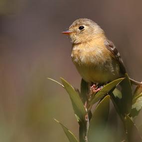 Buff-breasted Flycatcher by Andrew Johnson - Animals Birds ( bird, nature, flycatcher, wildlife, animal )