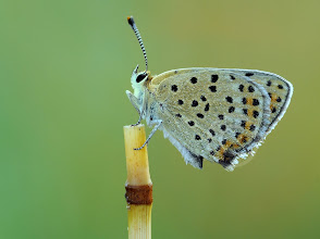 Photo: Cuivré Fuligineux / Argus Myope, Lycaena Tityrus  http://lepidoptera-butterflies.blogspot.com/