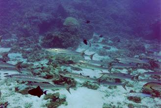 Photo: #005-Banc de barracudas