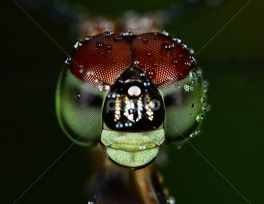 by Lazuardi Normansah - Animals Insects & Spiders
