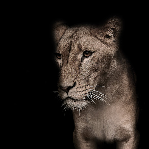 The Lioness by Jerry Sjödin - Animals Lions, Tigers & Big Cats ( #lioness, #animal, #black, #fade, #wild, #dark, #big cat,  )