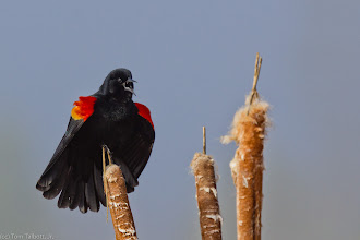 Photo: The Call 2 - Red-winged Blackbird, Nine Mile Falls, WA