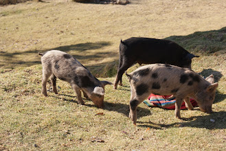 Photo: There were pigs on all the farms we passed driving to see ruins.