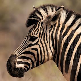 Mountain Zebra by Shreyas Kumar - Animals Other Mammals ( pilanesberg, mountain zebra, zebra, closeup, portrait,  )