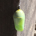 Monarch Butterfly (Chrysalis)
