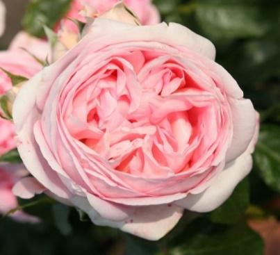 Rose Voyage online kaufen | Rosen Tantau