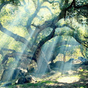The oak and the smoke by Greg Harrington - Landscapes Forests