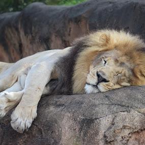 Just Lion Around by Keith Heinly - Animals Lions, Tigers & Big Cats ( lion, kingdom, safari, disney, animal )