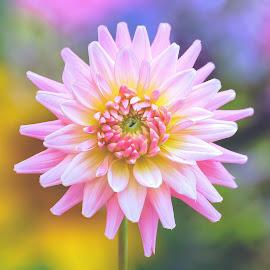 Pink Dahlia by Jim Downey - Flowers Single Flower ( pink, blue, dahlia, yellow, whiye )