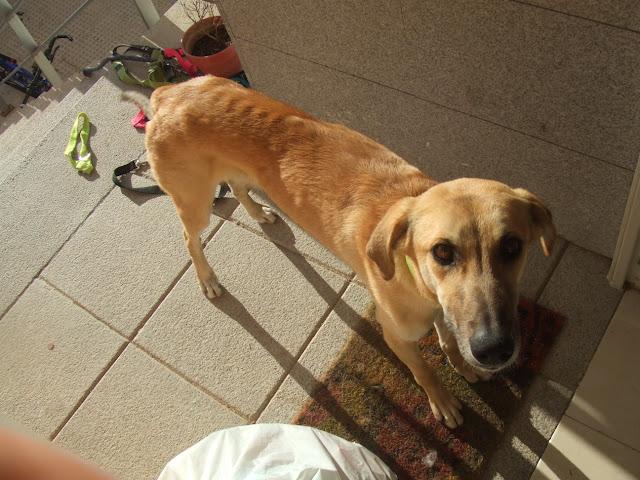 Dudo, corredor canino busca adoptante P_DSCF9512