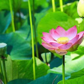 Lotus Flower by Lauren Manzano - Uncategorized All Uncategorized