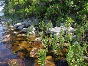 Photo: The beautiful Virgina Chain Fern, Woodwardia virginica, Site B