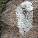 Blue- Gray Crustose Lichen