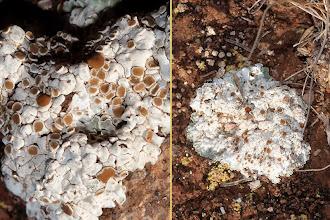 Photo: Estrat liquenícola algepsars: Squamarina lentigera.